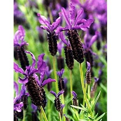 "Findlavender - Lavandula Stoechas Spanish (Purple Flowers) - 4"" Size Pots - Zones 7-11 - Bee Friendly - Attract Butterfly - Evergreen Plant - 1 Live Plant : Fabric Ribbons : Garden & Outdoor"