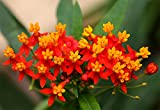 10 Seeds Asclepias curassavica 'Silky Gold' Tropical Milkweed Plant
