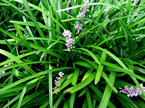 50 Monkey Grass Plants Liriope Bare Root Plants Evergreen Border Plants