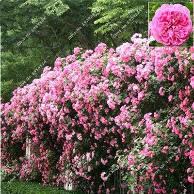 Fiori Rampicanti.5 200 Bag Rose Rampicanti Semi Di Fiori Di Rosa Semi Di Fiori