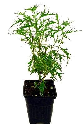 "Trost's Dwarf Laceleaf Weeping Birch - Bonsai/Outdoors - 2.5"" Pot"