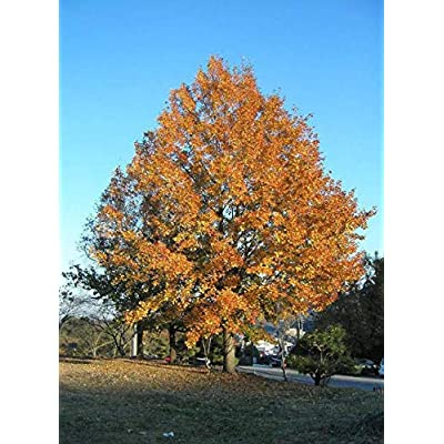 Cheap Fresh Tree Seeds Liquidambar Formosana Chinese Sweetgum Get 5 Seeds Easy Grow #GRG01YN : Garden & Outdoor