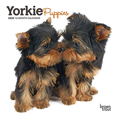 (Yorkie Puppies 2020 7 x 7 Inch Monthly Mini Wall Calendar, Animals Small Dog Breeds Terrier Yorkshire Terrier)