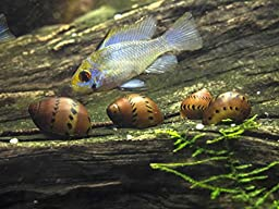 5 Tiger Nerite Snails (Neritina natalensis - 1/2 to 1 inch in diameter) - Live Snails by Aquatic Arts