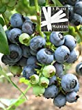 buy Organic Highbush Blueberry (Heirloom) 450+ Seeds 646263361894 Self Fertile + 3 Free Plant Marker now, new 2018-2017 bestseller, review and Photo, best price $7.19