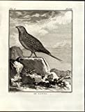 Sand Grouse Seedeater Widespread Species 1796 antique engraved Ornithology print