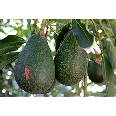 Live Plant Avocado Dwarf (Little Cado) Grafted Plant Get 1 Plant #BSG01YN : Garden & Outdoor