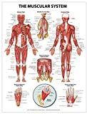 The Muscular System Wall Chart - Peel and Stick, Shop Anatomical and Jones, Nicole M., 1942605048