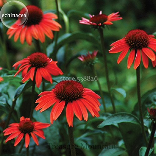 - 'Big Sky' Fire Red Echinacea Coneflower, 100 Seeds, a layer of fire red outer petals, a cluster of fire red center petals