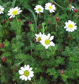 Anacyclus depressus Silver Kisses 1,000 seeds