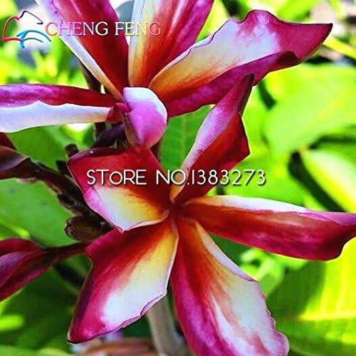 30 semillas de las PC Una Bolsa Plumeria Jardín maceta semilla de flor de Semillas Bonsai Flor-semillas de plantas de color Puede mezclado Flores del brote Tasa de 95%: Amazon.es: Jardín