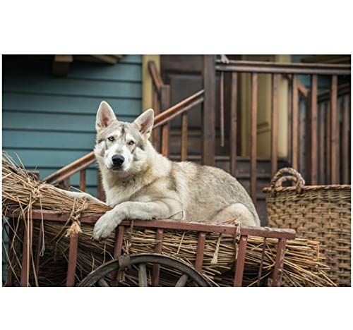 Outlander Rollo lying in hay-filled wagon 8 x 10 Inch Photo