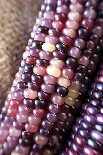 Glass Amethyst (Amethyst Dream Purple Glass Gem 50 Seeds Cherokee Indian Corn Heirloom Premium Seed Packet + More)