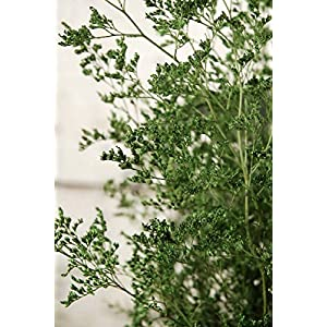 Preserved Dyed Caspia 8 oz. Green - Excellent Home Decor - Outdoor Indoor 7