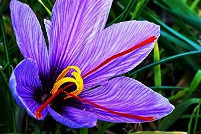 50 Large Corms - Saffron Sativus Crocus