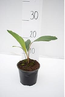 Zimmerpflanze Florida-Schilfpalme Gesamth/öhe 40-50cm Topf /Ø 14cm Thrinax Radiata