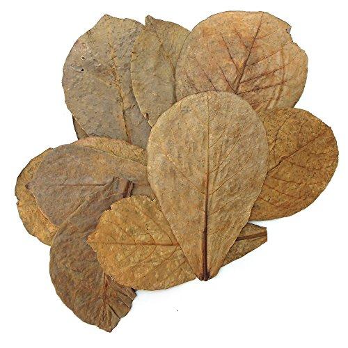 Indian Almond - Tantora Premium Grade Catappa Indian Almond Leaves Size Xl 18-30cm