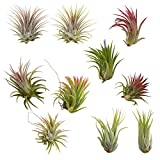 CTS Air Plants Assorted Tillandsia Ionantha(10 Pack)-Low-Maintenance House Plants for Indoor Decoration (10-Pack Assortment)