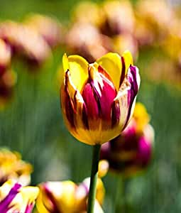 200PC Dutch Cabbage Tulip Seeds. Aroma Tulip Plant(it is not tulip bulbs-bulbs transport perishable)Advanced Bonsai Flower Seeds