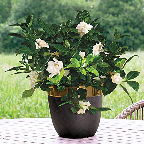 AMERICAN PLANT EXCHANGE Gardenia Bush Miami Supreme Live Plant 6'' 1 Gallon Fragrant Blooms by AMERICAN PLANT EXCHANGE (Image #1)