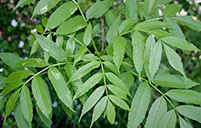 105 pcs/pkt Pendula European Ash Tree Seeds For Planting