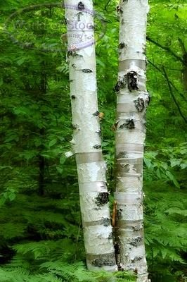 birch, WHITE BIRCH TREE 5 seeds
