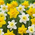 Daffodil Dutch Master and Ice Follies - 125 narcissus flower bulbs - Buy in Bulk and Save from Longfield Gardens