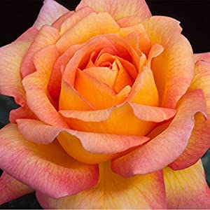 Glowing Peace Grandiflora Rose