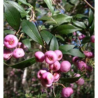 Cheap Fresh Syzygium Smithii Lilly Pilly Monkey Apple Acmena Eugenia Get 10 Seeds Easy Grow #BRS01YN : Garden & Outdoor