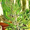 vegherb Arancione: Promozione !!! 100Pcs più raro Phoenix Semi Giardino Ornamentale Piante libere di Trasporto 2 spesavip