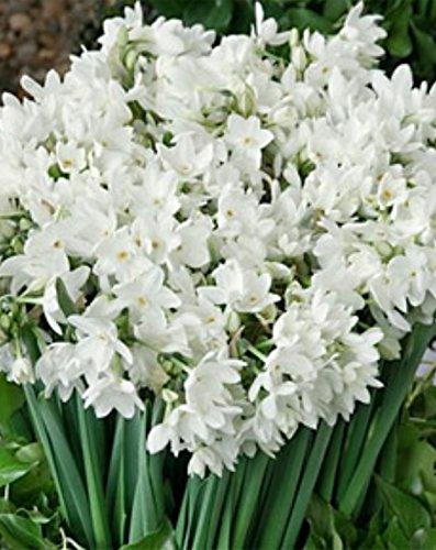 10 Ziva Paperwhites Flower Bulbs 14/15cm Bulbs