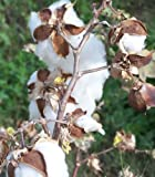 25 WHITE COTTON Gossypium Seeds For Sale