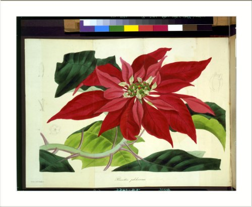 (Historic Print (L): Poinsettia pulcherrima / Holden delt. ; Smith sc.)