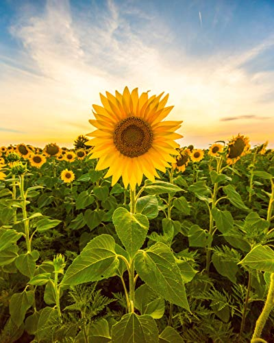 Sunflower Seeds for Planting - to Plant Mammoth Grey Stripe Flowers!