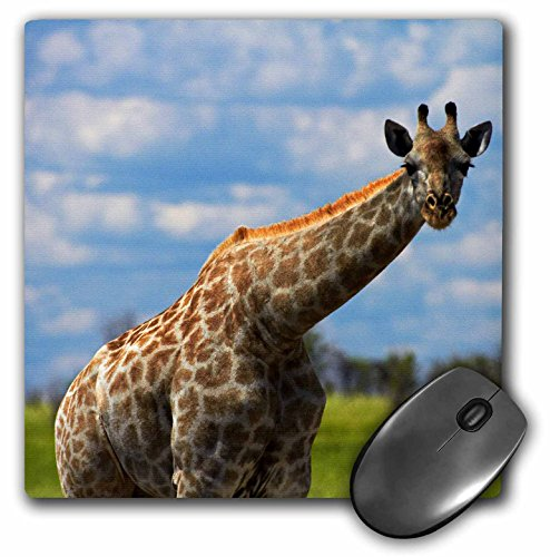(3dRose Giraffe Giraffa Camelopardalis, Nxai Pan NP, Botswana, Africa Mouse Pad, 8