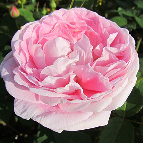 (Queen Anne - Bareroot David Austin Roses, English Shrub Garden Rose - Large Pink Rosette Style English Blooms - Strong Fragrance)