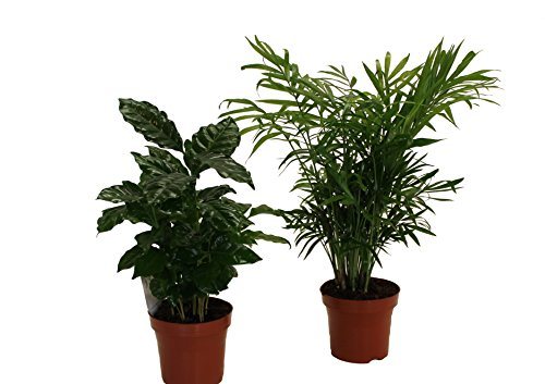 Pflanzenservice 891142 Kaffee mit Zimmerpalmen-Duo