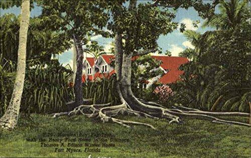 - Moreton Bay Fig Tree Fort Myers, Florida Original Vintage Postcard