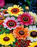 Painted Daisy Rainbow Mix Chrysanthemum Tricolor up to 100 Seeds