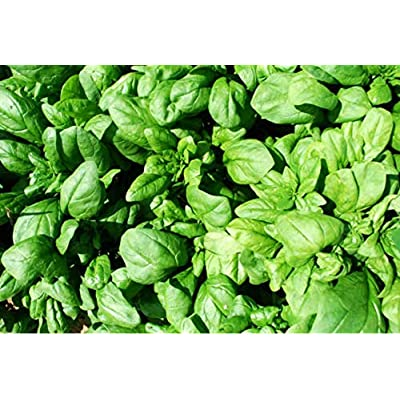 gbnjhtySpinach Seeds, 100Pcs Spinach Seeds Four Seasons Easy to Grow Field Nutrition Vegetable Garden Plants, Flower Seeds Seeds Seeds Spinach Seeds : Garden & Outdoor