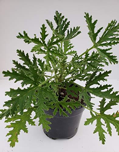 Signature Plants - Citronella Mosquito Plant in 4