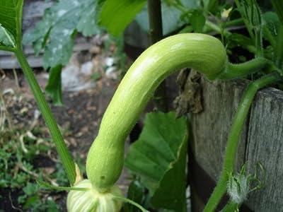 30 Trombocino Squash Seeds(Italian Heirloom Vining Zuchinni) by Stonysoil Seed Company