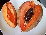 zapote fruit - * EXTREMELY RARE * Pouteria Sapota * Mamey Sapote * Zapote Rojo * 1 Huge Seed *