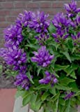 "CLUSTERED Bellflower ""Superba-Campanula Glomerata"" 25-Blue Perennial seeds"