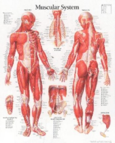 Muscular System Chart (Muscular System Male chart: Wall Chart)