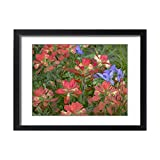 Framed 24x18 Print of Indian paintbrushes with spiderwort, Texas USA (13978794)