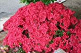 9cm Pot Azalea'Mother's Day' ('Muttertag') Karume Hybrid Dwarf Vivid Red Garden Shrub