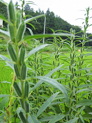 SESAME SEED,Quail,Dove Fields,Exotic Bird Feed,Duck Plots,Food Plots,Game Bird !(10 pounds) by seed (Image #1)