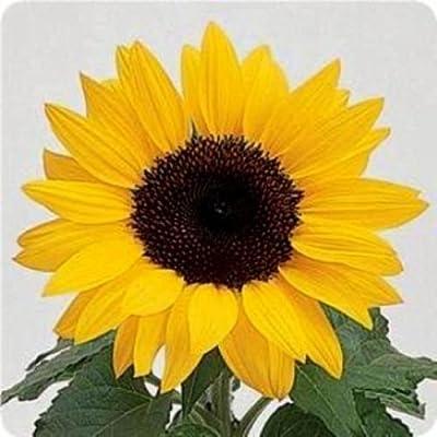 Dwarf Sunflower Seeds, Dwarf Yellow Pygmy, Heirloom Sunflower Seeds Non-GMO 50ct : Garden & Outdoor