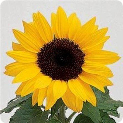 (50 Seeds Dwarf Sunflower Seeds, Dwarf Yellow Pygmy, Heirloom Sunflower Seeds Non-GMO 50ct)